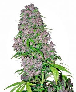 Purple Bud Alleen Vrouwelijk