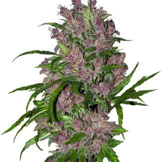 Purple Bud Autoflowering