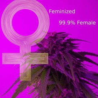 Gefeminiseerde wietzaden ook wel Feminized Feminised en alleen Vrouwelijk