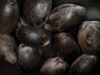 Amnesia Kush autoflowering seeds