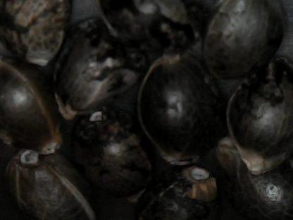 Blueberry Kush gefeminiseerde wietzaden